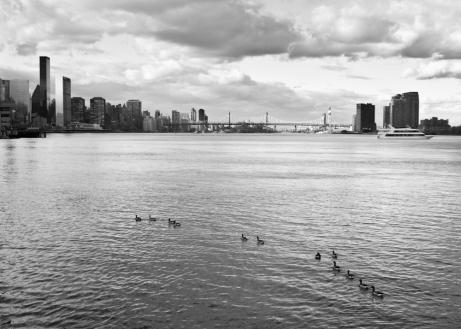 New York geese,