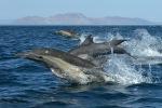 Common Dolphins Sea of Cortez