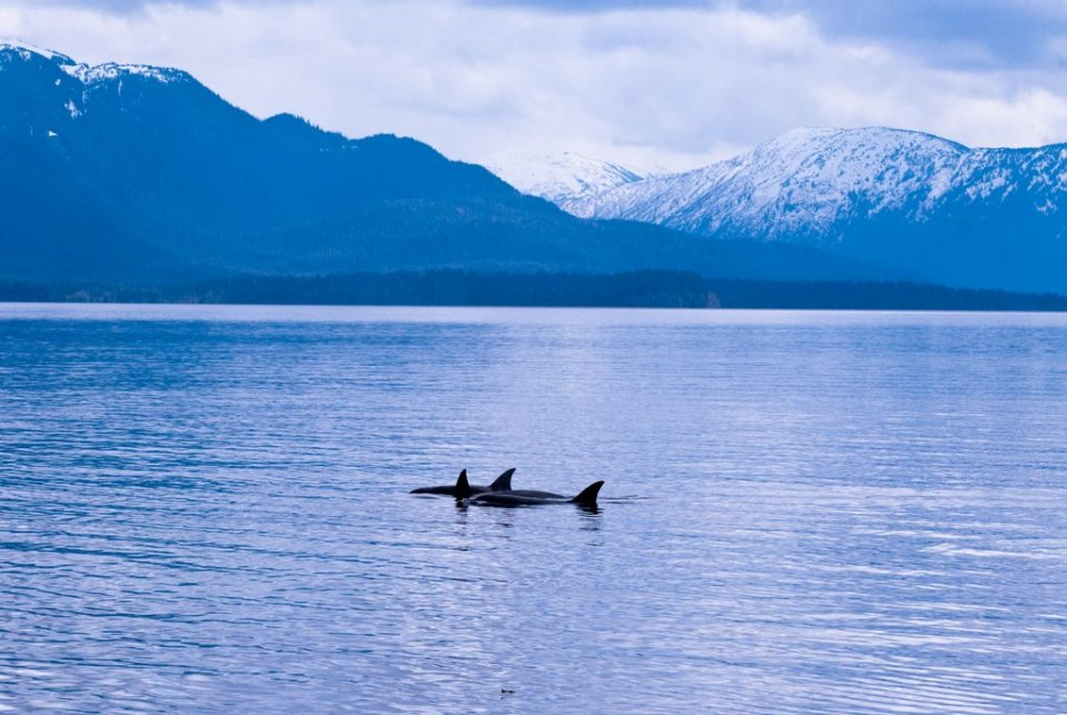 orcas, killer whales, alaska photo