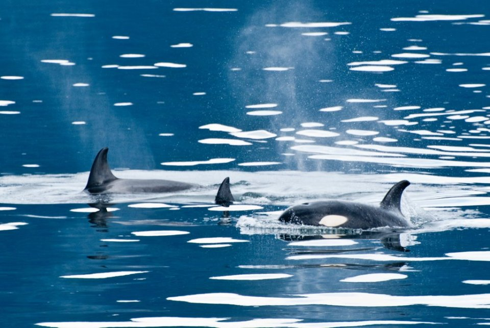alaska, orca, killer whales