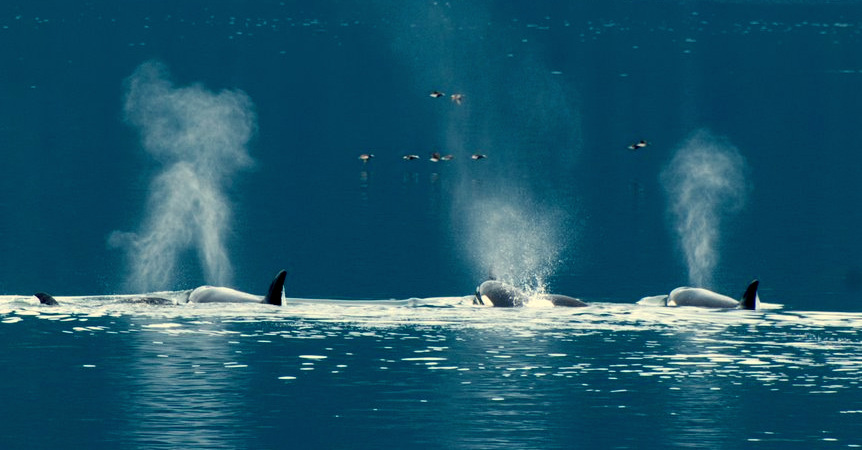 orca, killer whales, alaska, ocean