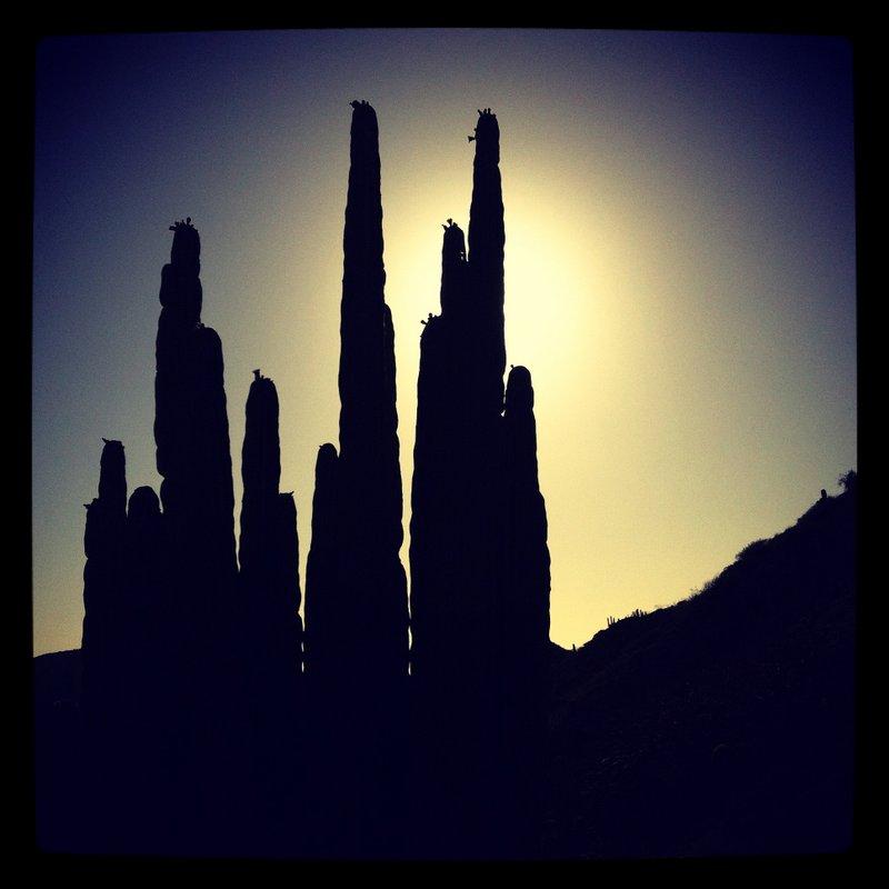 Baja California Cactus