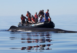 Sperm Whale Sea of Cortez