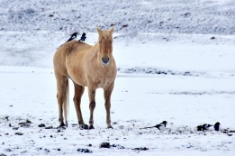 Colorado horse Magpies