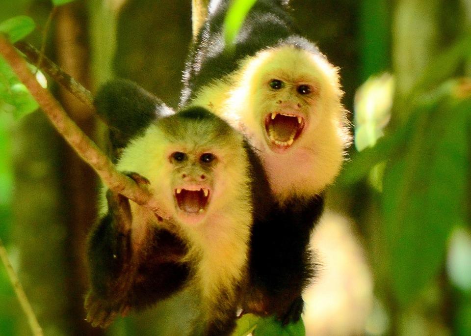 Costa Rica Capuchin Monkeys