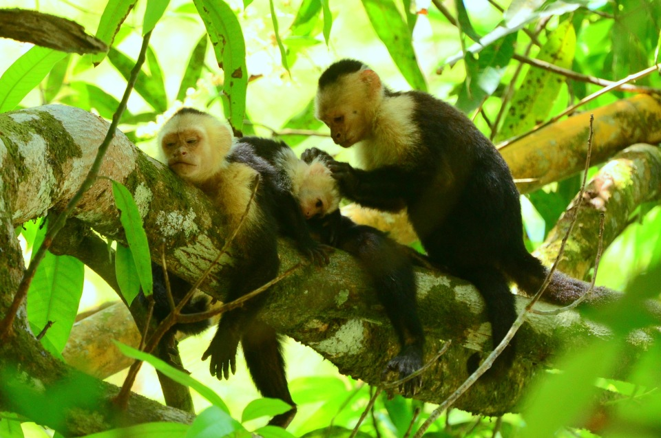 Costa Rica Capuchin Monkeys