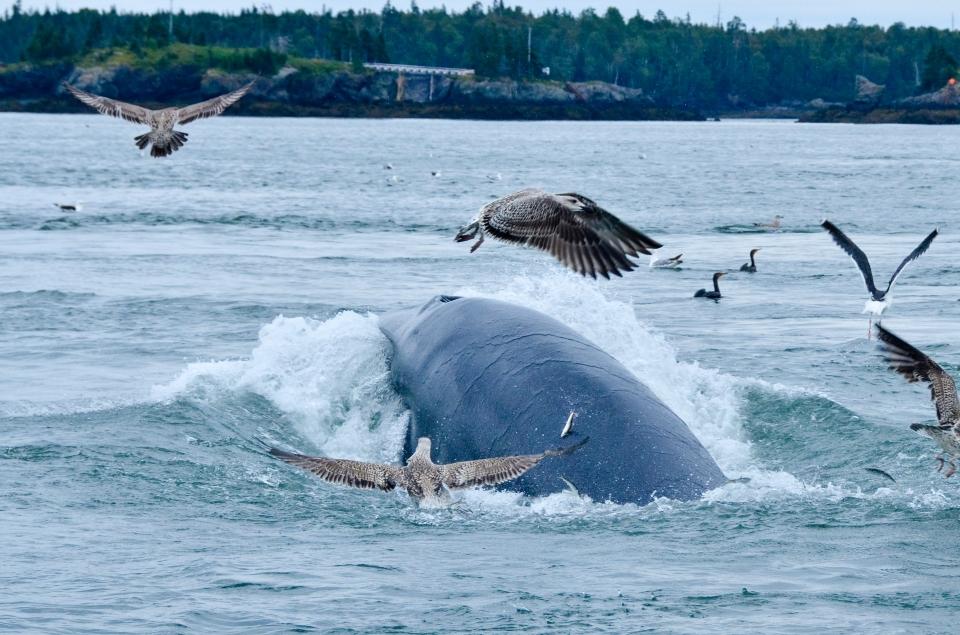 Minke whale campobello island nature wildlife marine mammal