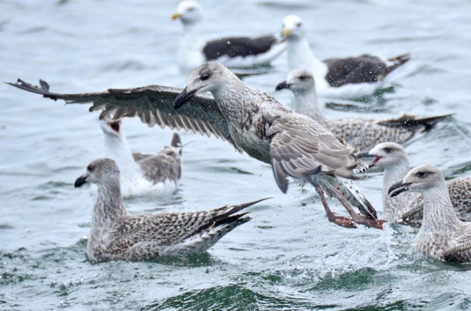 Bald Eagles Campobello Canada