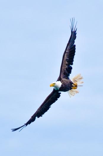 Bald Eagle of Campobello Island