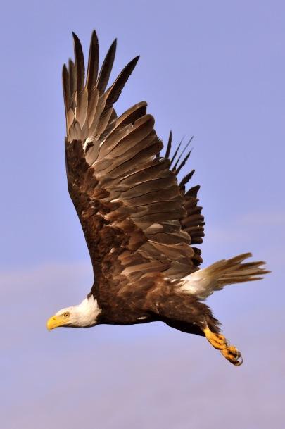 bald eagle haida gwaii